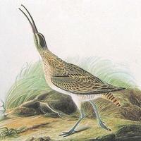 Not a Whimbrel